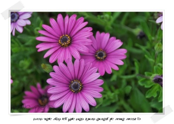 פרחים | צילום : איציק אהרון